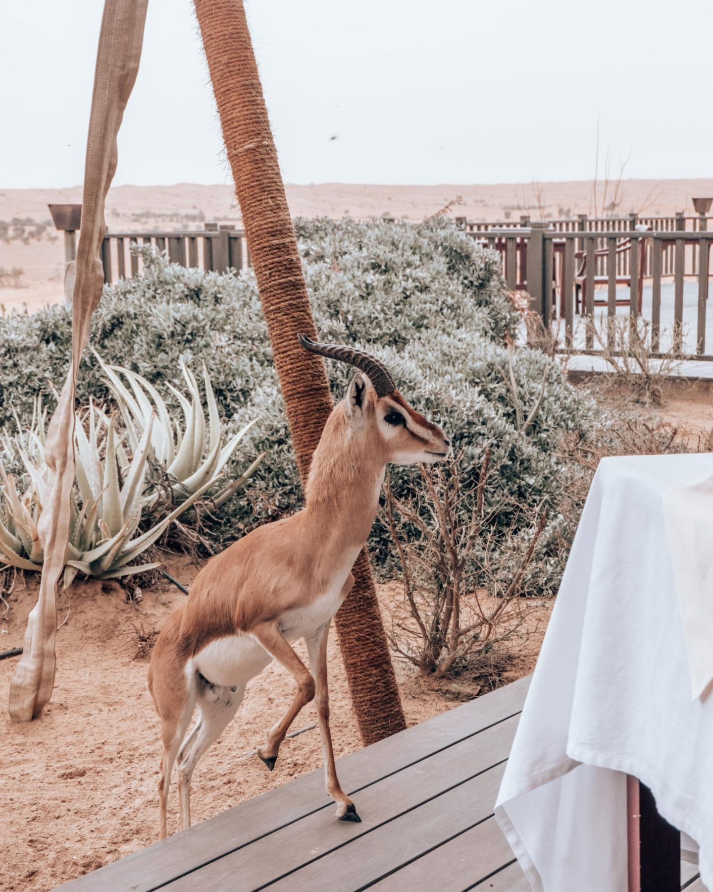 Al Maha Desert Resort Gazelle