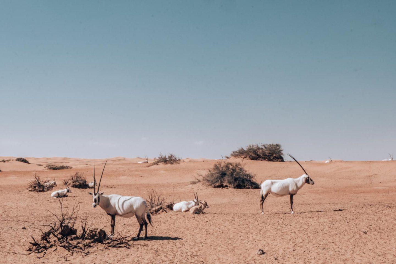Dubai desert oryx al maha