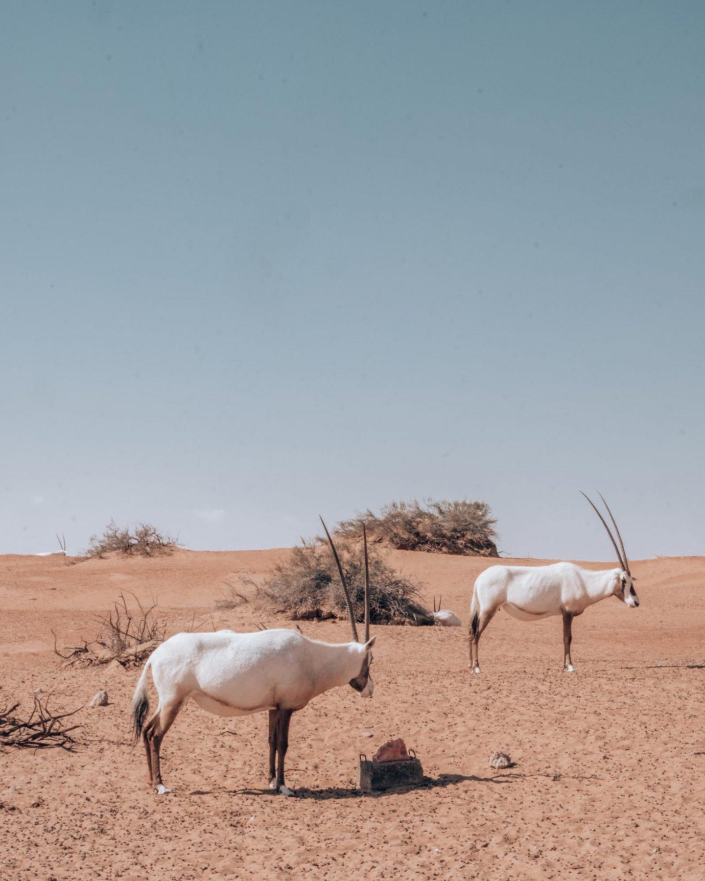 Al Maha Desert Oryx