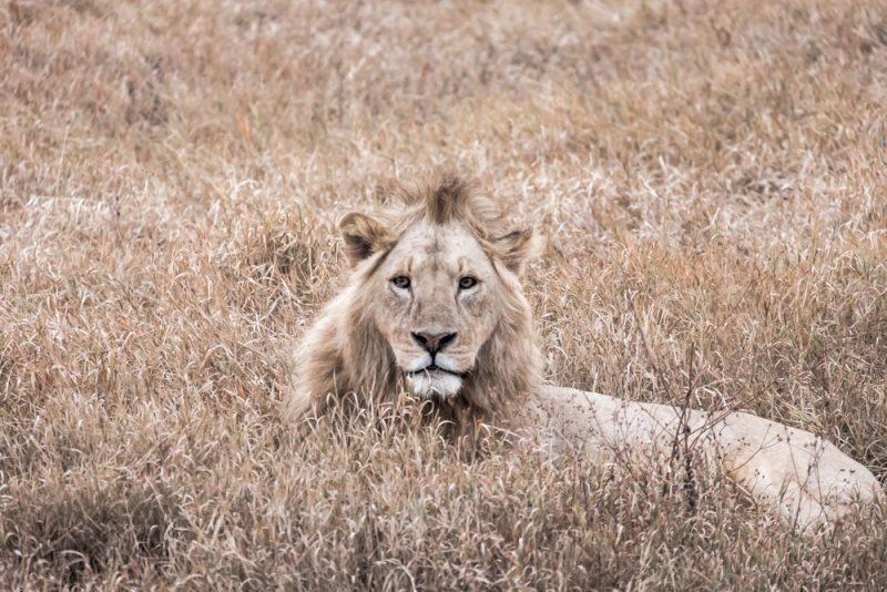 10 DAYS TANZANIA ITINERARY- Ngorongoro Lion