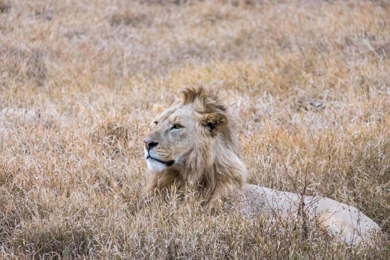 Tanzania Travel Guide - Ngorongoro Crater Lion