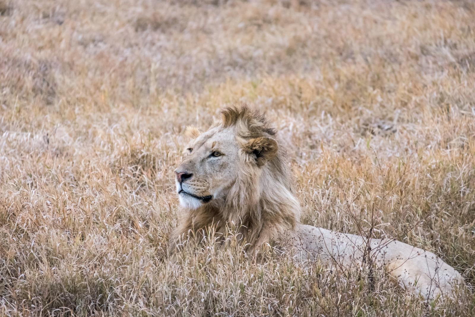 Travel photography gear - Lion Tanzania