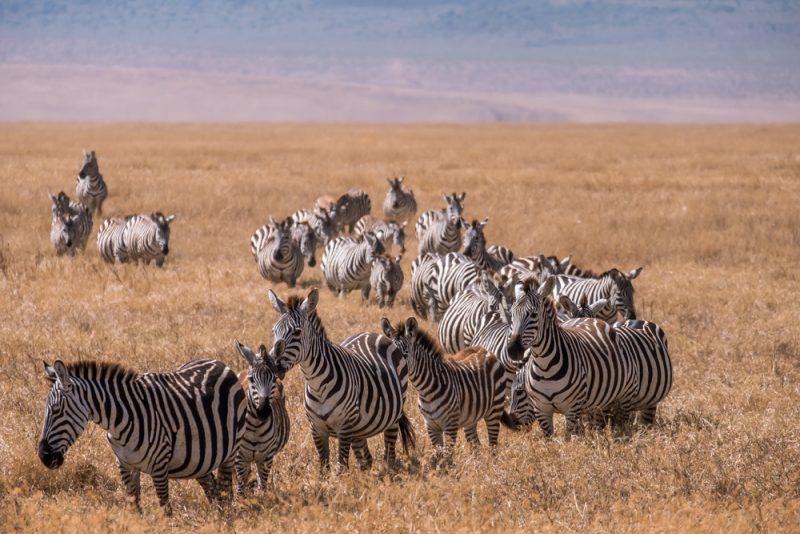 10 DAYS TANZANIA ITINERARY- Ngorongoro Crater Zebras