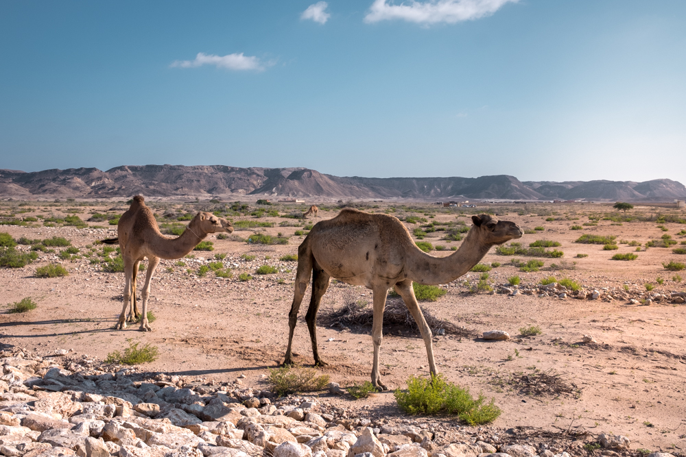 Oman Itinerary - camels - Places to visit in Oman